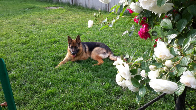 Собака лежит на газоне