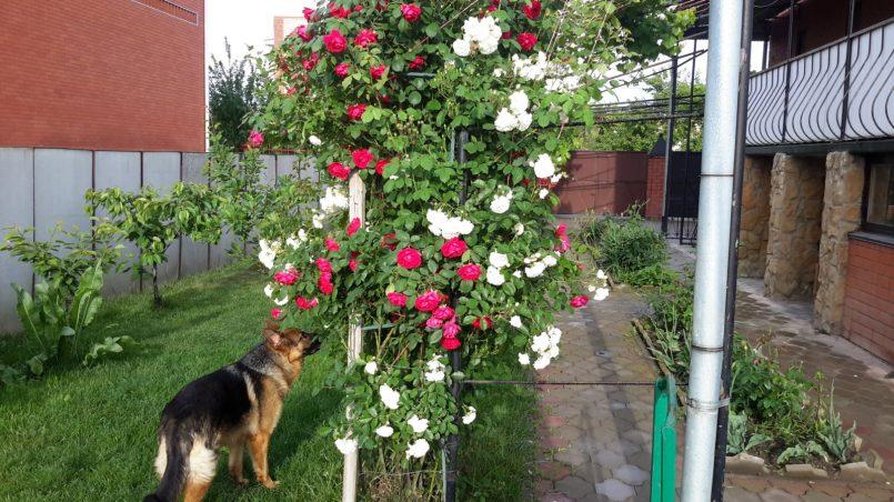 Овчарка нюхает розы