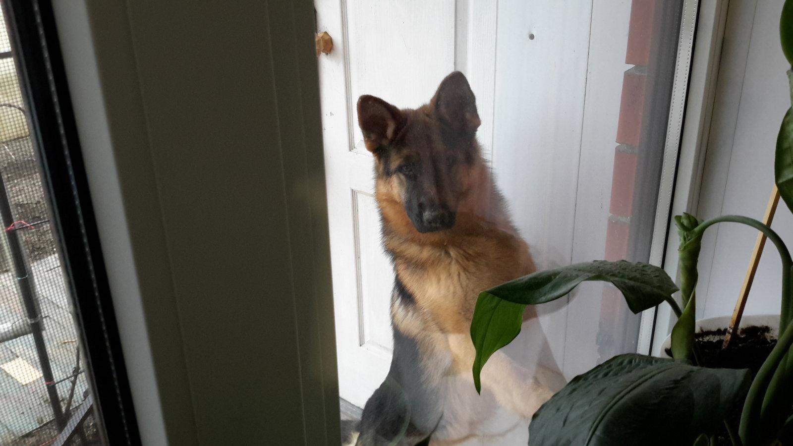 Королина заглядывает в окно