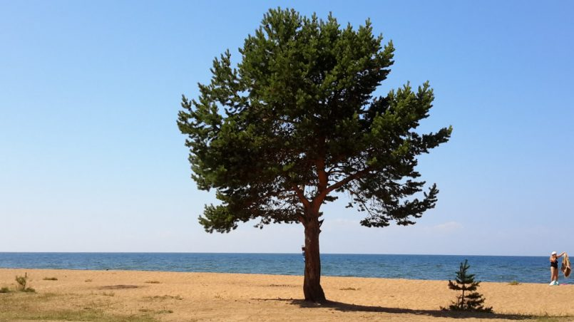 Одинокий кедр на берегу