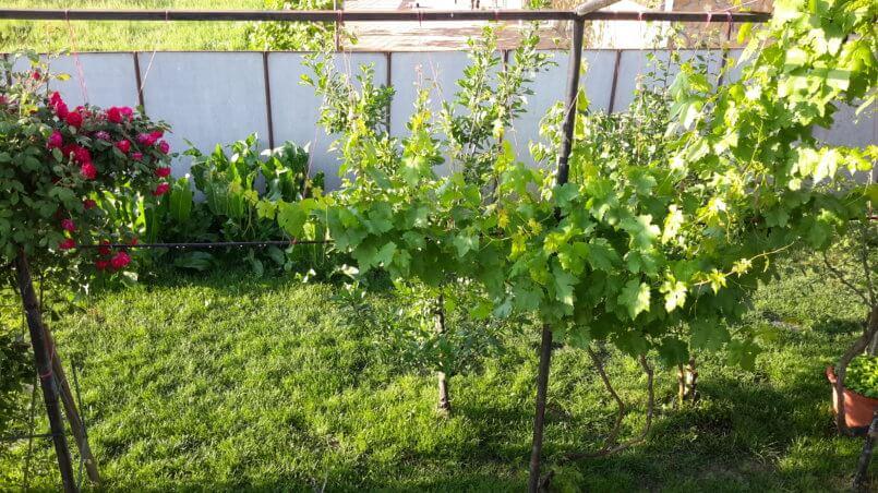Виноград и розы