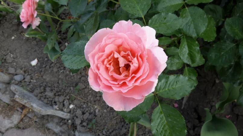 Бархатистая роза