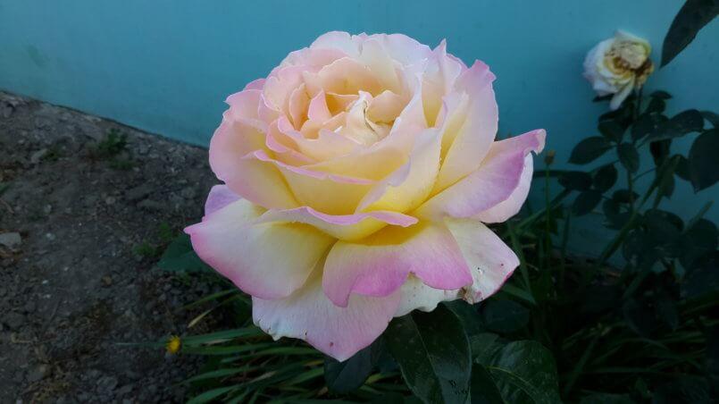 Желто-розовый цветок