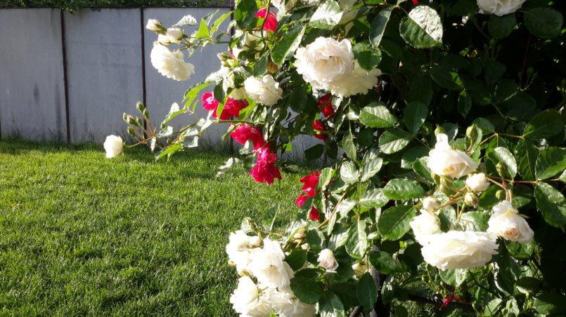 Белые и красные вьющиеся розы