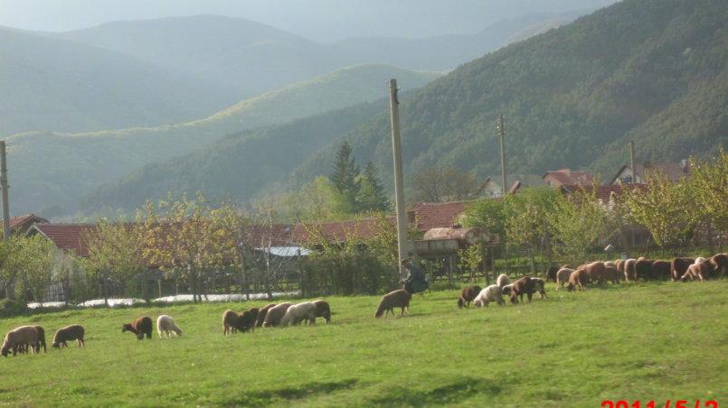 Овцы пасутся на лугу