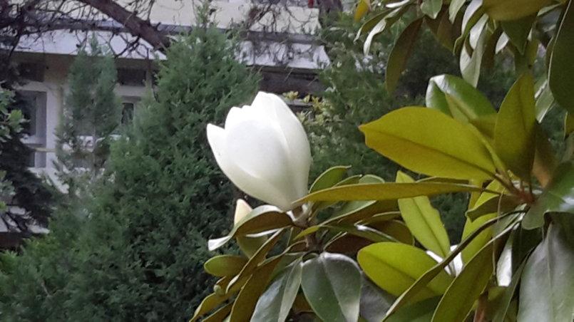 Цветок магнолии утром