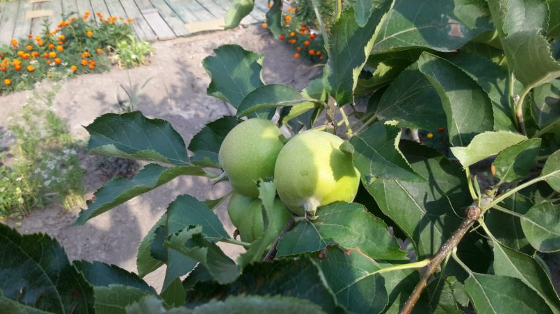 Яблоки на ветках