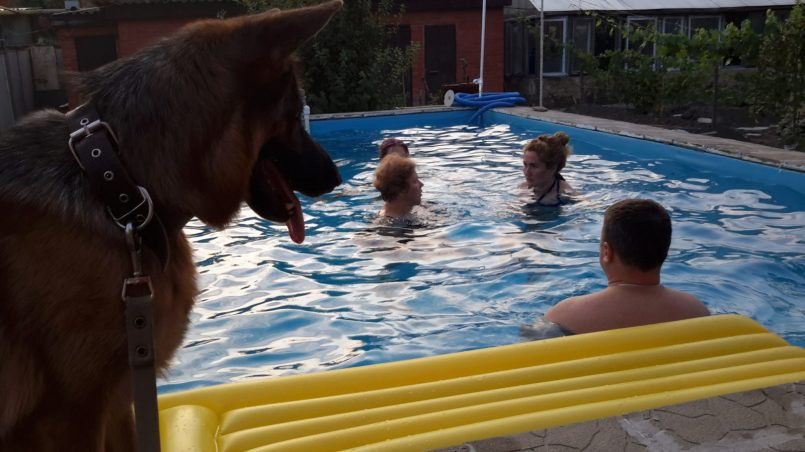 Овчарка, люди купающиеся в бассейне