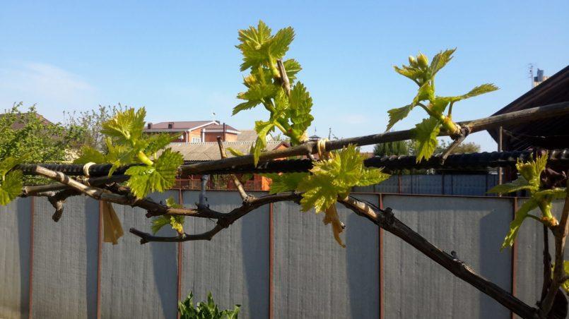 Ростки виноградной лозы